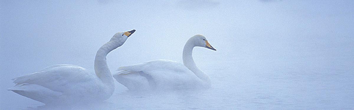 冬天 天鹅 海报banner 摄影 风景             此素材是90设计网官方