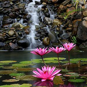 小溪莲花背景