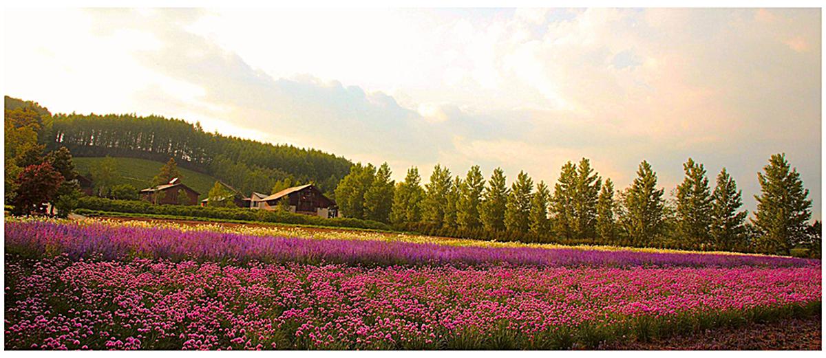 图片 > 【jpg】 浪漫夕阳下花海banner  分类:自然/风景 类目:其他