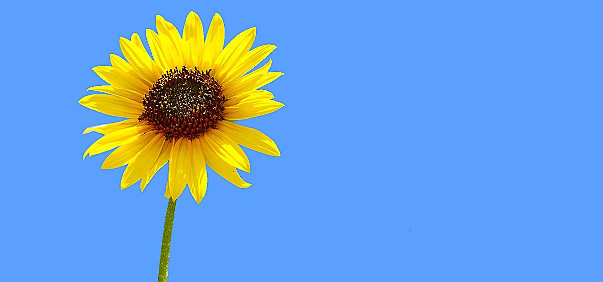 小清新向日葵背景图