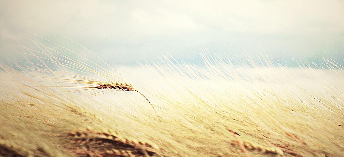 风景蓝天白云黄色小麦背景