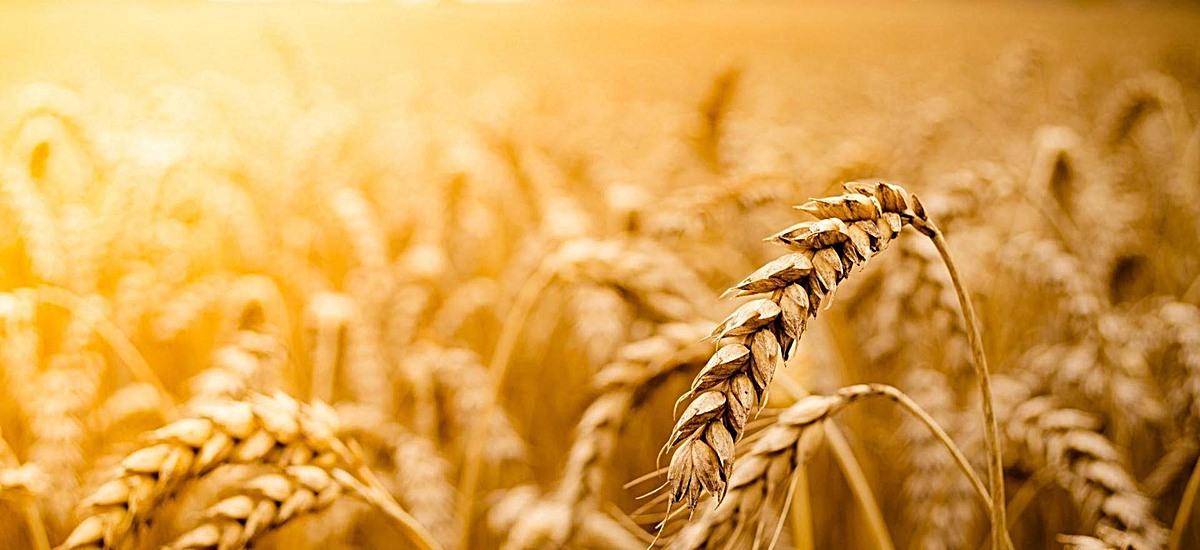 风景黄色麦穗黄光麦地背景