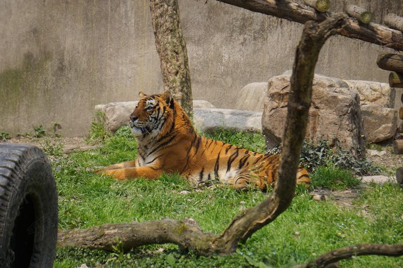 动物园里面坐着的老虎
