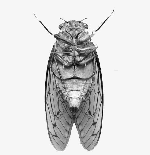 图片 > 【png】 蝉腹部  分类:手绘动漫 类目:其他 格式:png 体积:0.