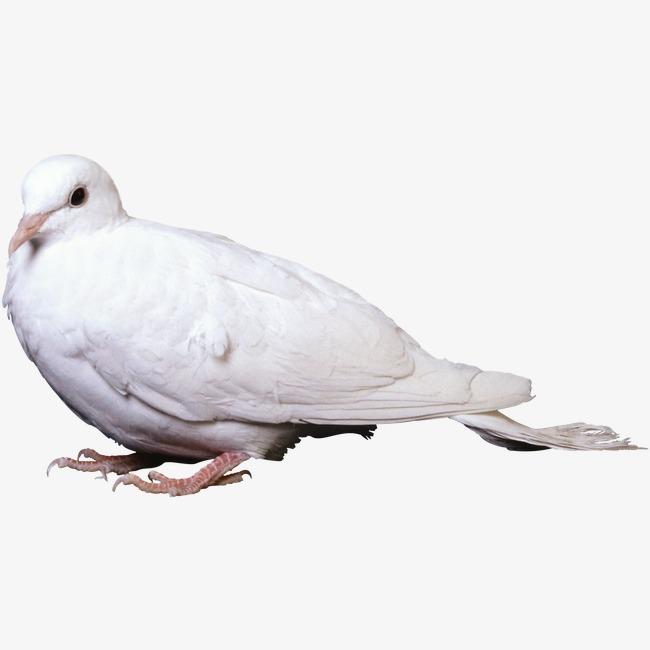 鸽子飞羽毛 白鸽素材图片免费下载_高清装饰图案png_千库网(图片编号