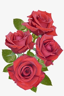 花束 精美玫瑰花素材图片免费下载 高清装饰图案png 千库网 图片编号54147