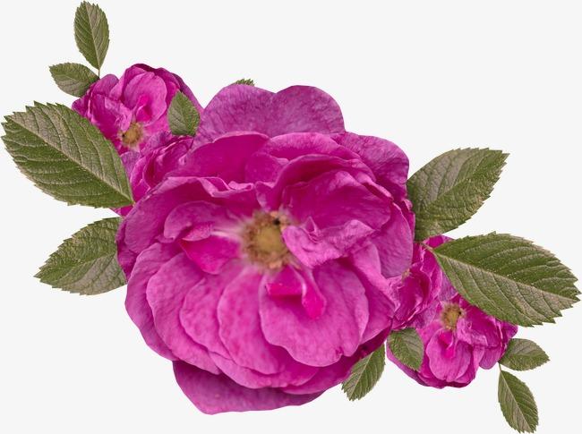 植物花卉素材花卉ps素材