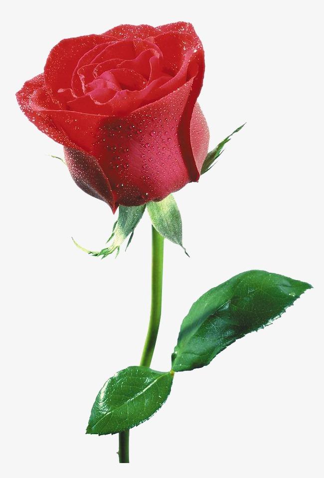 易画玫瑰花朵的图片_玫瑰花的种类及图片 _排行榜大全