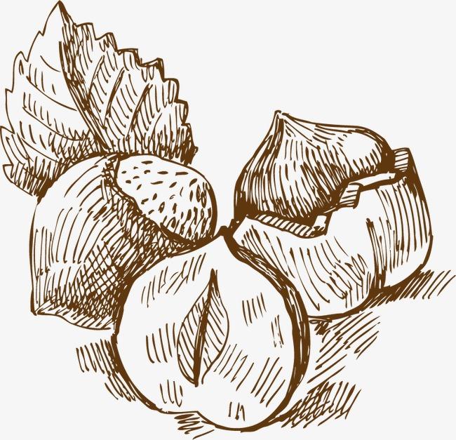 坚果手绘素描