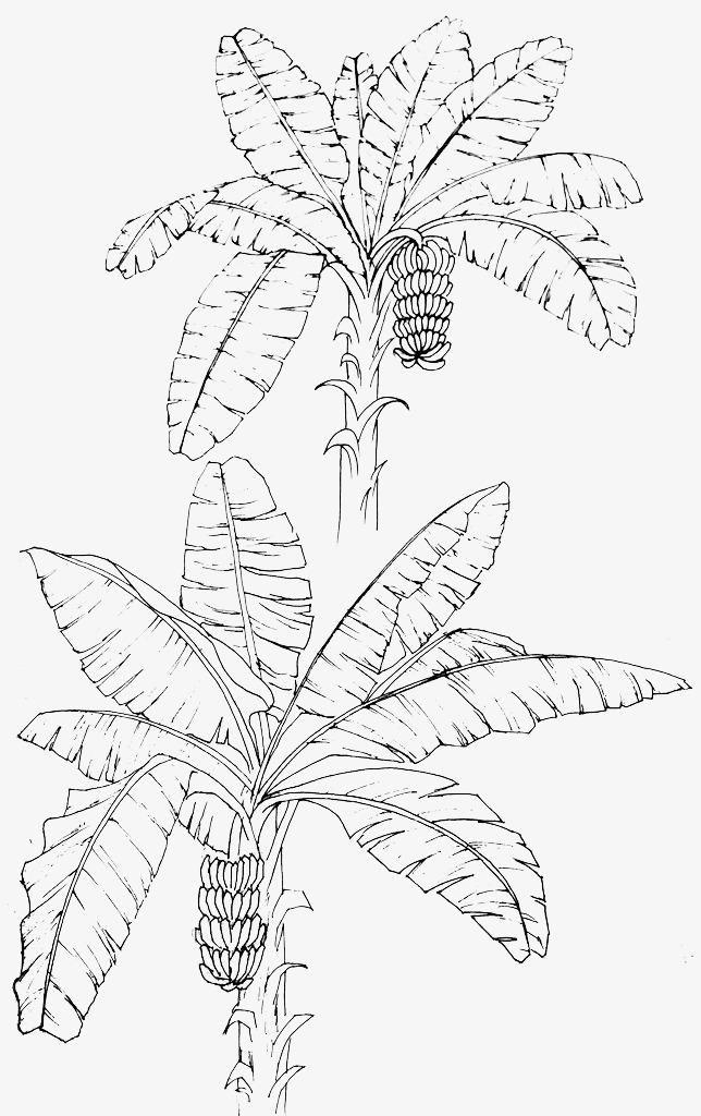 线描芭蕉叶素材图片免费下载 高清漂浮素材png 千库网 图片编号图片图片
