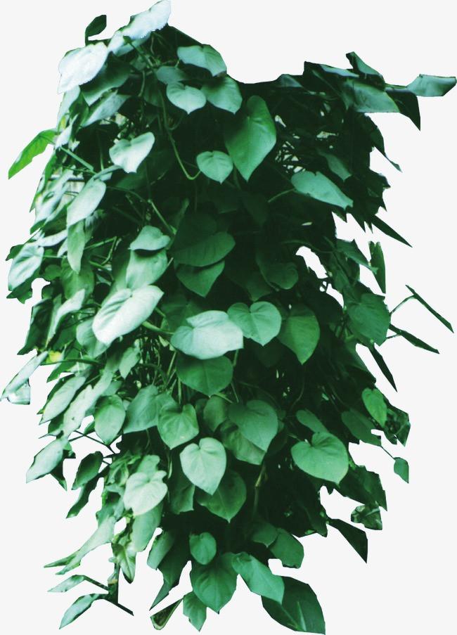 树藤 藤蔓 绿色植物