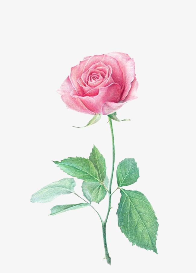 玫瑰花朵素材图片免费下载 高清装饰图案png 千库网 图片编号2375717