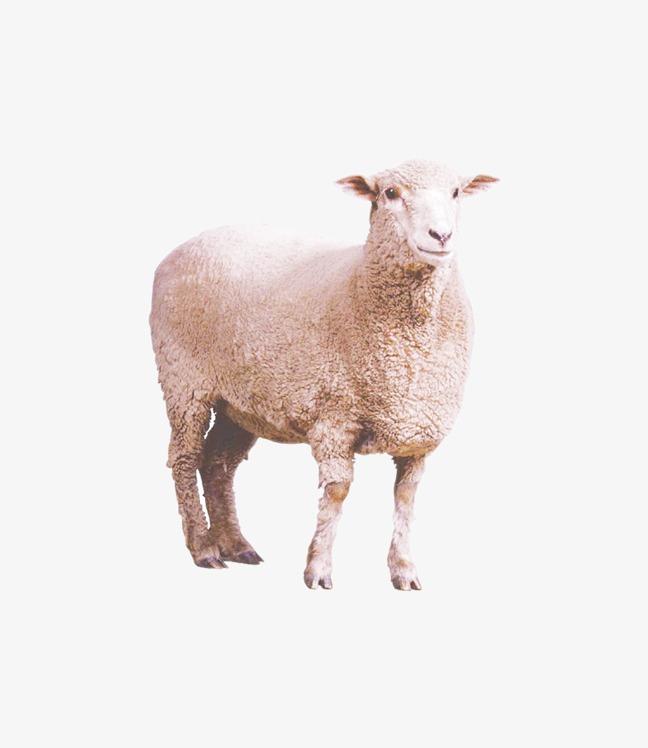 绵羊 动物 家畜 毛羊             此素材是90设计网官方设计出品,均