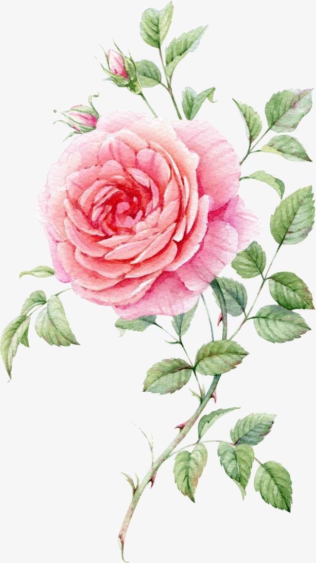 水彩手绘粉色玫瑰花