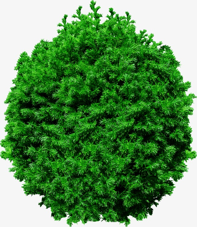 马克笔手绘植物柏树