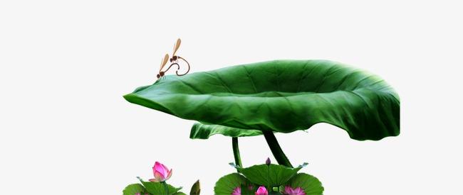 荷叶蜻蜓荷花