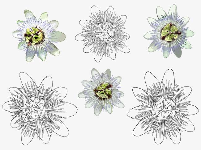 手绘含笑花