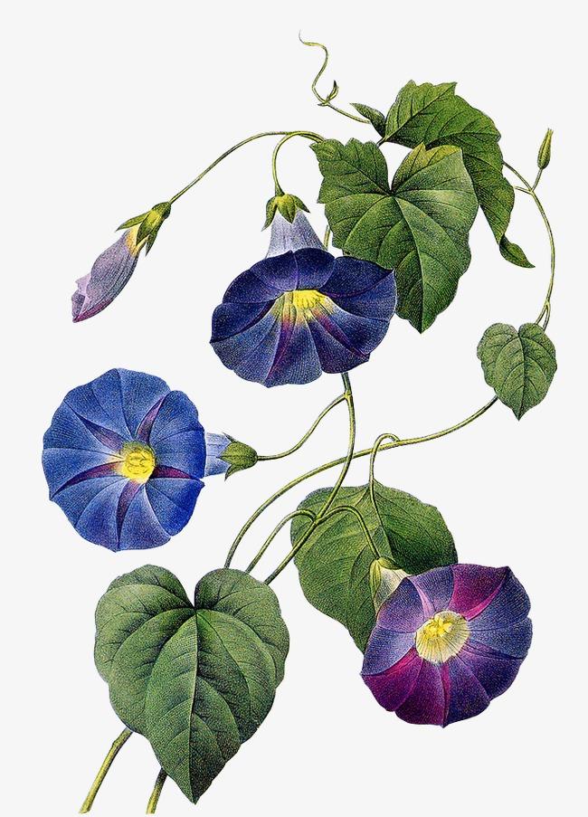 手绘花朵的素材免抠手绘喇叭花牵牛花夕颜紫色叶子