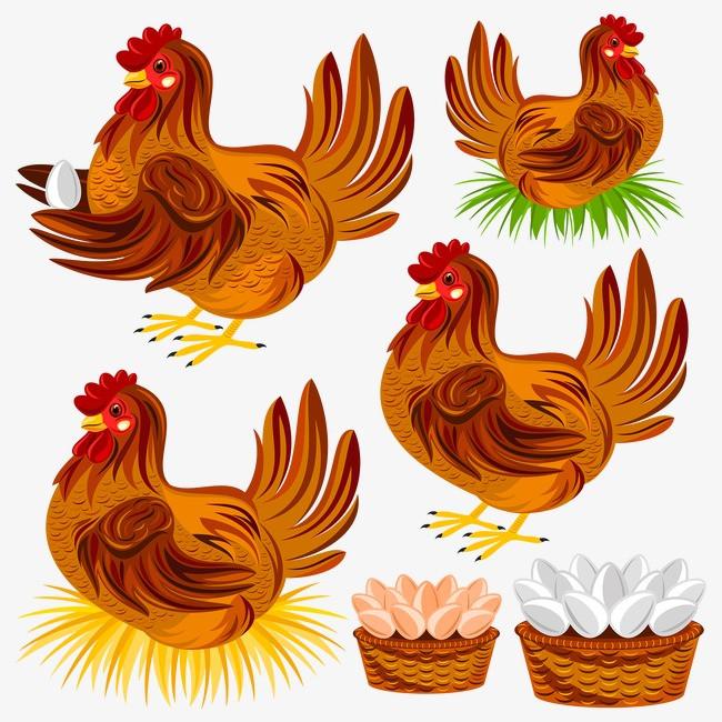 孵蛋的母鸡图片