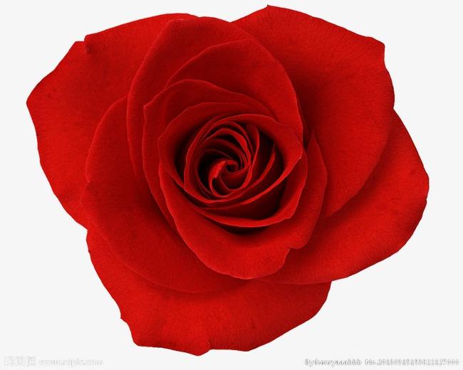 1500*1200 90设计提供高清png素材免费下载,本次玫瑰花作品为设计师创