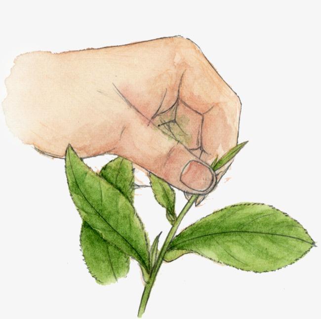 茶叶制作品种手绘