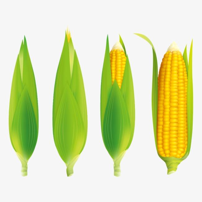 玉米叶脉结构图