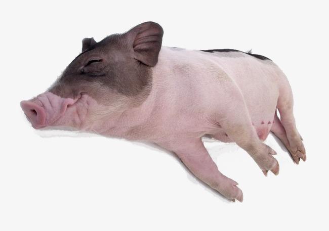 动物 猪 650_457