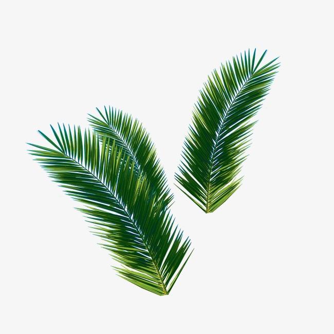 椰子树叶_椰子树叶png素材-90设计