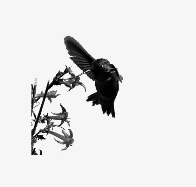 动物 手绘黑白 蜂鸟