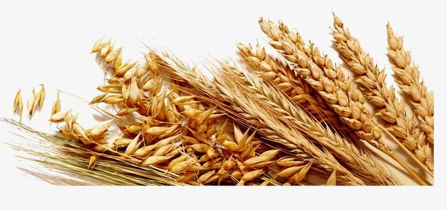 小麦素材图片免费下载 高清装饰图案psd 千库网 图片编号3448409