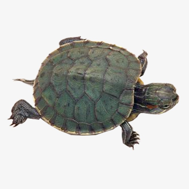 乌龟 海龟 动物 爬行 水产             此素材是90设计网官方设计