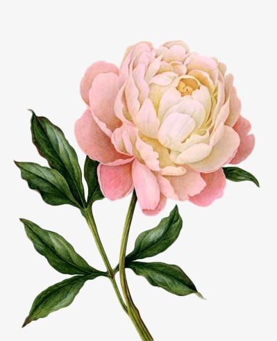 粉色手绘牡丹花