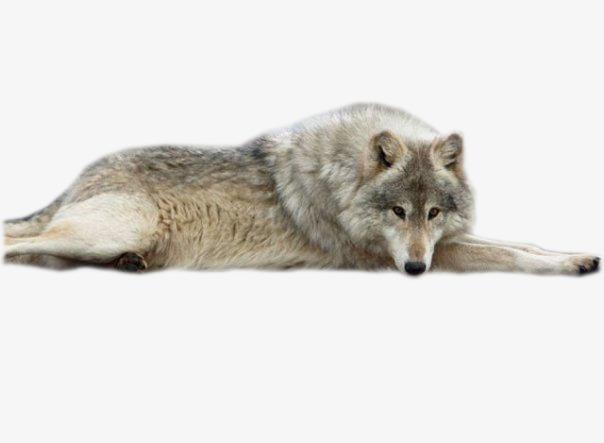 食肉动物 动物狼 豺狼 野狼             此素材是90设计网官方设计