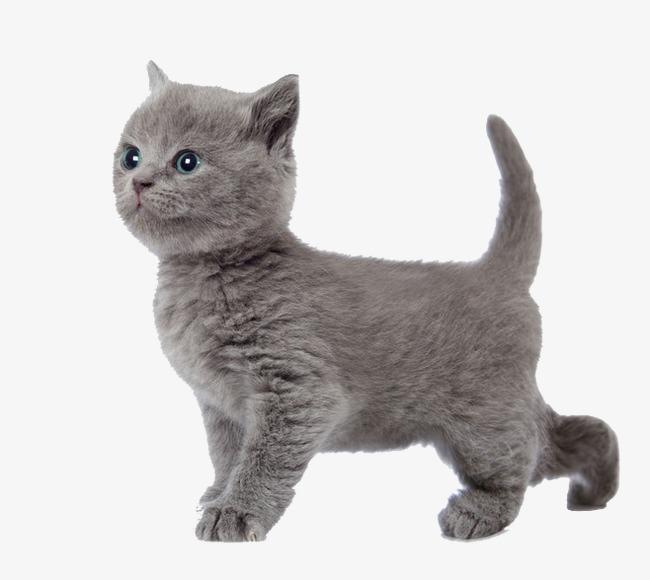 小猫 猫咪 灰色小猫             此素材是90设计网官方设计出品,均做