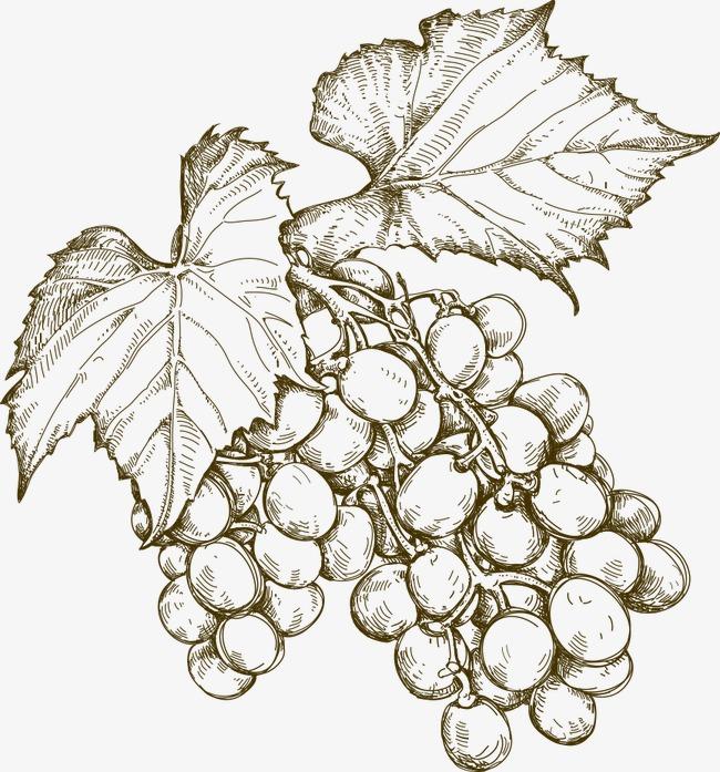 矢量手绘葡萄素材图片免费下载 高清装饰图案psd 千库网 图片编号3977893