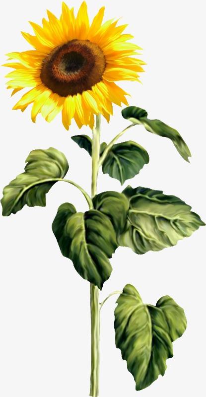 手绘向日葵