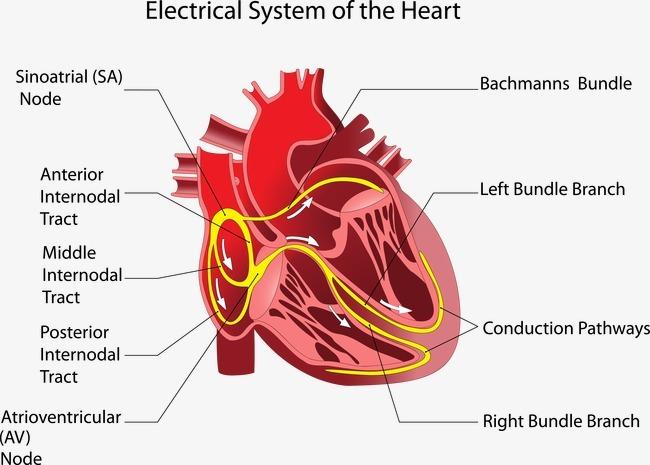 心脏结构图