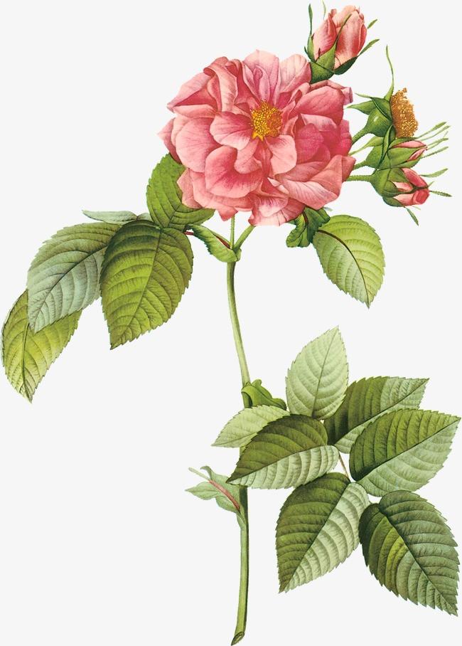 手绘玫瑰花插画