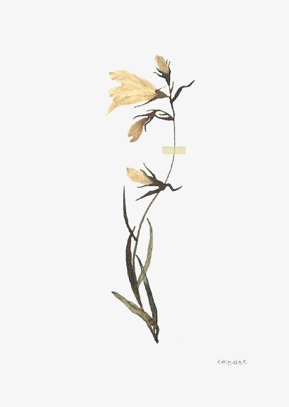 手绘百合植物标本