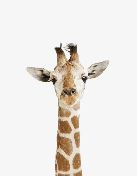动物长颈鹿
