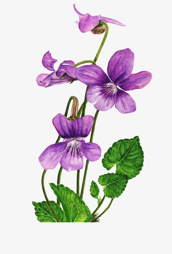 手绘紫色蝴蝶兰素材图片免费下载 高清png 千库网 图片编号4411181