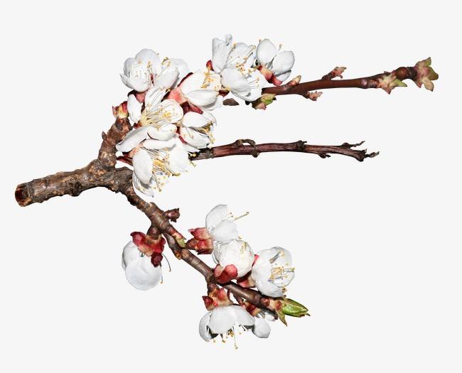写实手绘樱花树枝