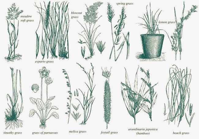 手绘植物标本
