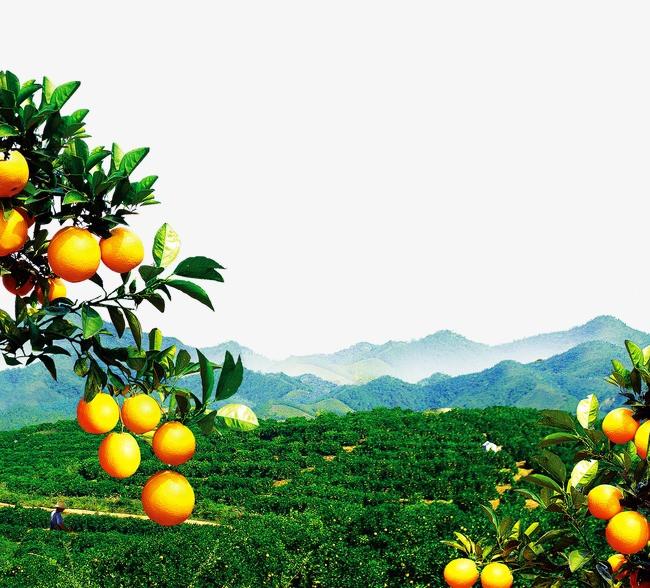 橙子海報_橙子樹風景png素材-90設計