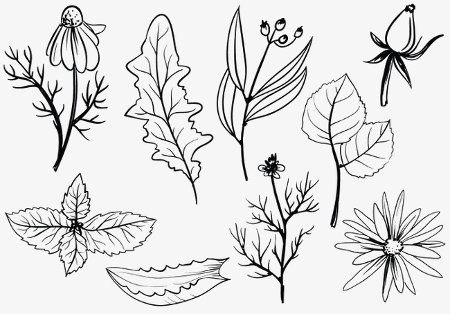 图片 > 【png】 植物标本手绘  分类:手绘动漫 类目:其他 格式:png 体