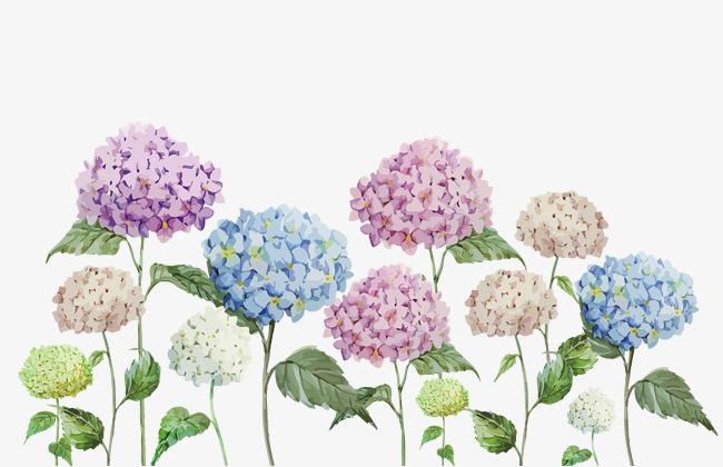 手绘绣球花