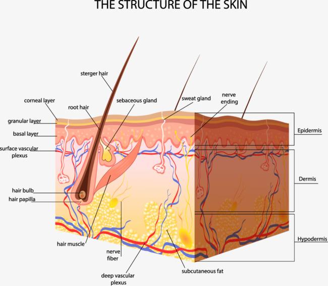 人体皮肤结构剖析图