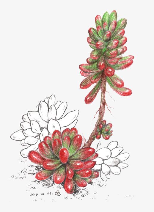 简笔画多肉植物
