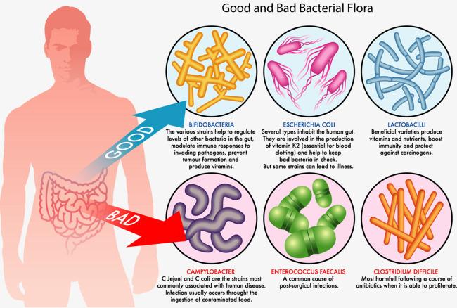 人体肠道结构图_人体肠道好坏细菌分析