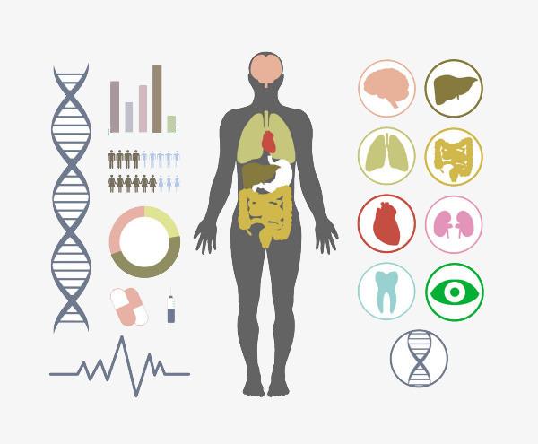 人体结构_人体构造图器官图